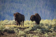 Bison in Lamar Valley Lizenzfreies Stockfoto