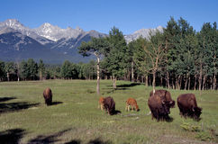 Bison in landscape Stock Photo