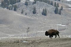 Bison landscape Royalty Free Stock Images
