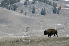 Bison landscape Royalty Free Stock Images