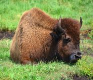 Bison are large, even-toed ungulates. In the genus Bison within the subfamily Bovinae. Two extant and four extinct species are recognized royalty free stock photography