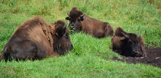 Bison are large, even-toed ungulates. In the genus Bison within the subfamily Bovinae. Two extant and four extinct species are recognized stock photography