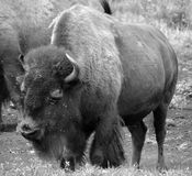 Bison are large, even-toed ungulates. In the genus Bison within the subfamily Bovinae. Two extant and four extinct species are recognized stock photos