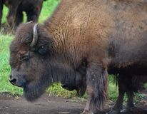 Bison are large, even-toed ungulates. In the genus Bison within the subfamily Bovinae. Two extant and four extinct species are recognized stock images