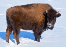 Bison. Are large, even-toed ungulates in the genus  within the subfamily Bovinae Stock Image