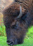 Bison. Are large, even-toed ungulates in the genus  within the subfamily Bovinae Stock Images