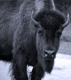 Bison. Are large, even-toed ungulates in the genus  within the subfamily Bovinae Stock Photography