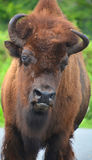 Bison. Are large, even-toed ungulates in the genus  within the subfamily Bovinae Royalty Free Stock Images