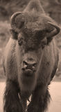 Bison. Are large, even-toed ungulates in the genus  within the subfamily Bovinae Royalty Free Stock Photos