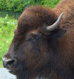 Bison. Are large, even-toed ungulates in the genus  within the subfamily Bovinae Stock Photos