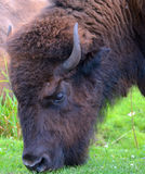 Bison. Are large, even-toed ungulates in the genus  within the subfamily Bovinae Royalty Free Stock Photo