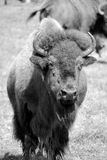 Bison. Are large, even-toed ungulates in the genus  within the subfamily Bovinae. Two extant and four extinct species are recognized Stock Image