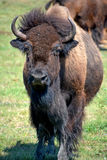Bison. Are large, even-toed ungulates in the genus  within the subfamily Bovinae. Two extant and four extinct species are recognized Stock Photo