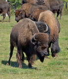 Bison. Are large, even-toed ungulates in the genus  within the subfamily Bovinae. Two extant and four extinct species are recognized Royalty Free Stock Photography