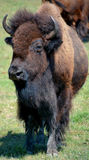 Bison. Are large, even-toed ungulates in the genus  within the subfamily Bovinae. Two extant and four extinct species are recognized Royalty Free Stock Images