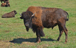 Bison. Are large, even-toed ungulates in the genus  within the subfamily Bovinae. Two extant and four extinct species are recognized Stock Photos