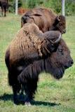 Bison Royalty Free Stock Image