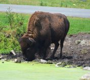 Bison are large, even-toed ungulates. In the genus Bison within the subfamily Bovinae. Two extant and four extinct species are recognized stock photo
