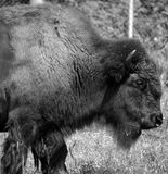 Bison are large, even-toed ungulates. In the genus Bison within the subfamily Bovinae. Two extant and four extinct species are recognized royalty free stock photos