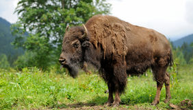 Bison. Large horny male of bison in the forest Royalty Free Stock Images