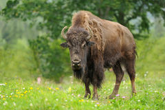 Bison. Large male of bison in the forest Royalty Free Stock Image