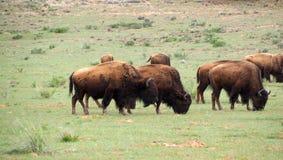 Bison lassen mit einem Stier weiden, der heraus seine schwarze Zunge haftet Lizenzfreie Stockfotografie