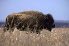 Bison on in last of winter grass Royalty Free Stock Photos