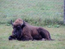Bison Stock Photography