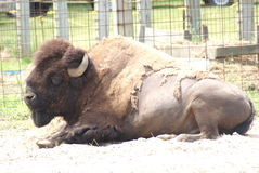 Bison Laying Down royaltyfria foton