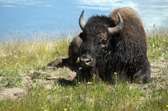 Bison Laying on a Hill Stock Image