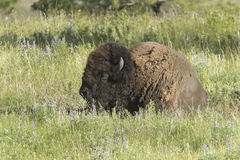 Bison lays in grass. Stock Images