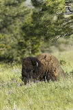 Bison lays in the meadow. Stock Images