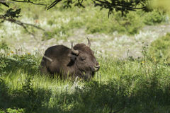 Bison lays in the shade. Stock Photo