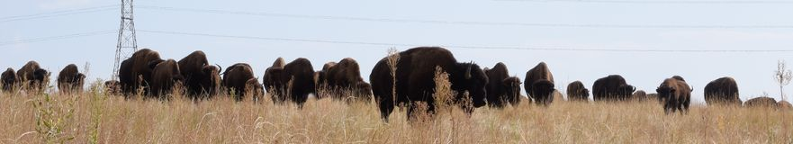 Bison leading herd Royalty Free Stock Images