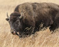 Bison licking her nose. Bison up to her chin in tall meadow grass, licking her nose. Grand Teton National Park, Wyoming, USA stock image