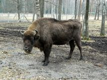 Bison at Lithuania Park Stock Photos