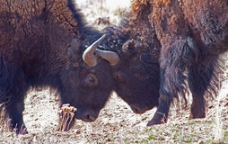 Bison Locking Horns Stock Images