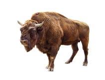 Bison lokalisiert auf Weiß Stockfotos