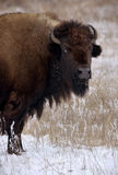 Bison look Stock Photos