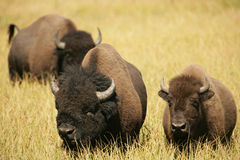 Bison Lovers Together Royalty Free Stock Images