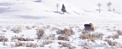 Bison luttant en tempête de neige de l'hiver Photographie stock libre de droits