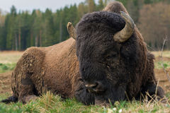 Big bison lies on a grass, close-up Stock Image