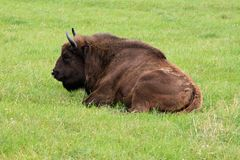 Bison lying. One quiet bison lying on the grass Stock Photo