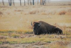 Bison in Grass royalty free stock photo