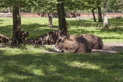 Bison lying in the yard, Bialowieza National Park Royalty Free Stock Photography