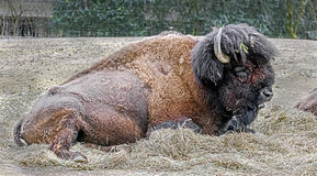 Bison male 1 Royalty Free Stock Photography