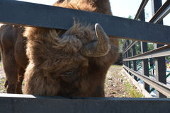 Bison male gaze Royalty Free Stock Photo