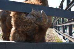 Bison male gaze Royalty Free Stock Photo