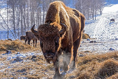 Bison mammal hay winter Royalty Free Stock Photography