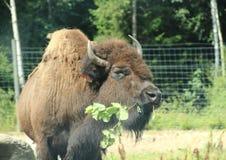 Bison mangeant des feuilles dans la forêt Photo stock